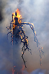 A controlled burn supervised by the Park Service consumes a standing dead tree in an effort to eliminate wildfire potential in Yosemite National Park, California, USA.