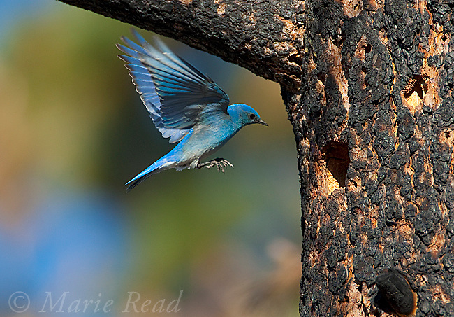 Mountain Bluebird (Sialia currucoides), male hovering to investigate potential nest hole (occupied by Lewis's Woodpecker), Mono Lake Basin, California, USA