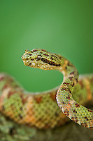 489180009 a captive green and red banded eyelash viper bothriechis schlegelii sits coiled on a tree limb species is native to south and central america