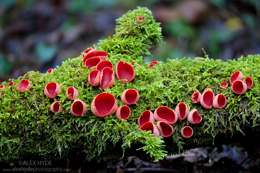 Scarlet Elf Cup fungus {Sarcoscypha coccinea} growing on moss-covered fallen tree. Lathkill Dale SSSI, Peak District National Park, Derbyshire, UK. January.