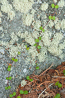 Lichens and moss cover a rock while a small vine crawls across it along a trail at Isle Royale National Park, Keweenaw County, Michigan