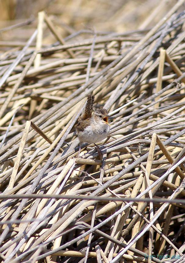 SONY DSC Marsh Wren Marsh Wren