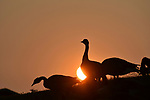 Canada geese silhouetted by the setting sun.
