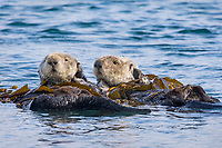 Sea Otters (Enhydra lutris) resting in kelp. California coast.