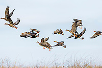 Flock of Greater White-fronted Geese (Anser albifrons).  Western U.S., fall.