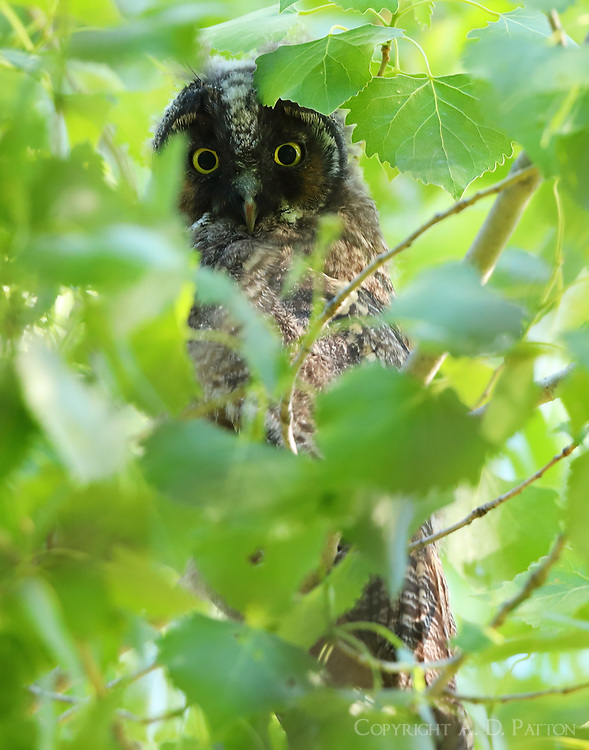Long-eared owl baby