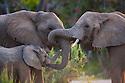 Namibia;  Namib Desert, Skeleton Coast,  desert elephants (Loxodonta africana) touching each other with their trunks