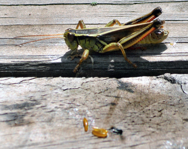 Grasshopper seen in the Esopus Bend Nature Preserve in Saugerties, NY, on Monday, July 11, 2016. Photo by Jim Peppler. Copyright Jim Peppler 2016. x