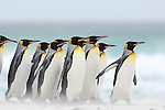 King Penguins (Aptenodytes patagonicus) walking along a sandy beach, Falkland Islands.