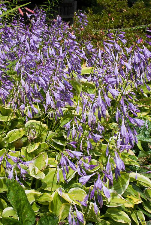 Hosta 'Golden Tiara' in flower