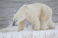 Polar Bear walking along the shore of Hudson Bay with a wave splashing in the background