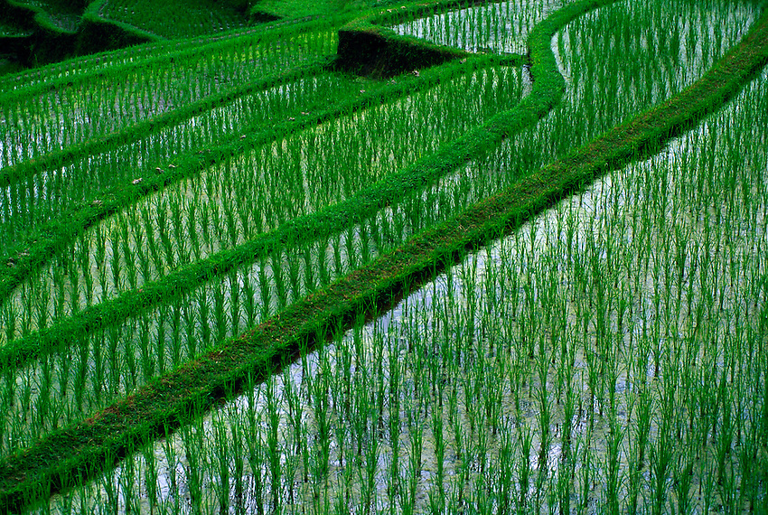 Rice terraces at Gunung Kawi, Tampaksiring, Bali, Indonesia