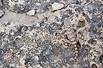 Scorpion Gecko (Pristurus carteri) female camouflaged on rocks, Hawf Protected Area, Yemen