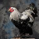 23/11/12 - MONTLUCON - ALLIER - FRANCE - Concours National Avicole de Montlucon. GR Coq Brahma perdrix maillee argente. Eleveur Pierre Decout - Photo Jerome CHABANNE