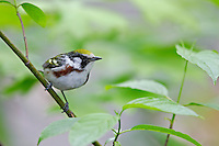Chestnut-sided Warbler (Setophaga pensylvanica) female in breeding plumage, a Spring migrant to New York City's Central Park.