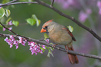 Female Northern Cardinal (Cardinalis cardinalis). Great Lakes Region. Spring.