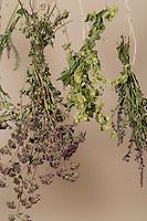 Kräuter trocknen, Kräuterstrauss, Kräuterstrauß, Trockenstrauss, Trockenstrauß, Wildkräuter zum Trocknen aufgehängt, Ernte, Kräuterernte, Kräuterkunde, bouquet of herbs, bunch of herbs, herbology. Blutweiderich, Blut-Weiderich, Lythrum salicaria, Purple Loosestrife, Spiked Loosestrife, Salicaire. Oregano, Oreganum, Wilder Dost, Echter Dost, Gemeiner Dost, Origanum vulgare, Oregano, Wild Marjoram. Schafgarbe, Wiesen-Schafgarbe, Schafgabe, Achillea millefolium, Common Yarrow. Hopfen, Humulus lupulus, Common Hop.