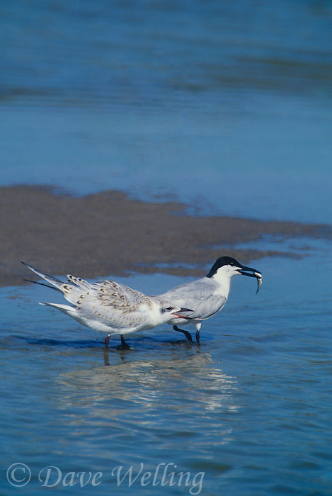 581683005 a juvenile gull-billed tern sterna nilotica begs for food from a parent at salton sea national wildlife refuge in southern california