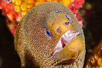 Goldentail moray, Gymnothorax miliaris, Bonaire, Caribbean Netherlands, Caribbean