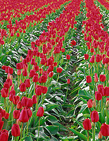 Red tulips, variety Apeldoorn. Wooden Shoe Bulb Company, Oregon.