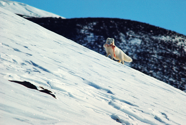 Arctic fox carrying hare meat from a kill. Siorapaluk Northwest Greenland.