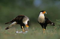 Crested Caracara, Caracara plancus,pair eating on Eastern Cottontail, Starr County, Rio Grande Valley, Texas, USA