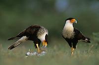 Crested Caracara, Caracara plancus,pair eating on Eastern Cottontail, Starr County, Rio Grande Valley, Texas, USA