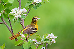 Female Baltimore oriole singing in a flowering apple tree.
