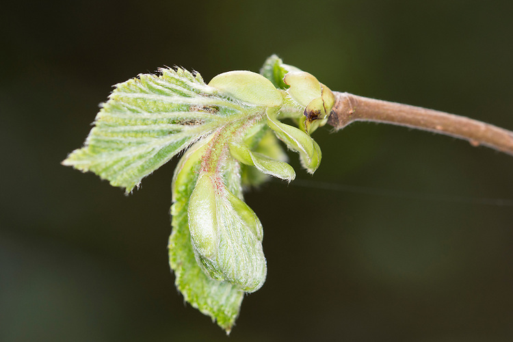 Hazel - Corylus avellana, spring leaf burst at Stoke Wood, Bicester, Oxfordshire