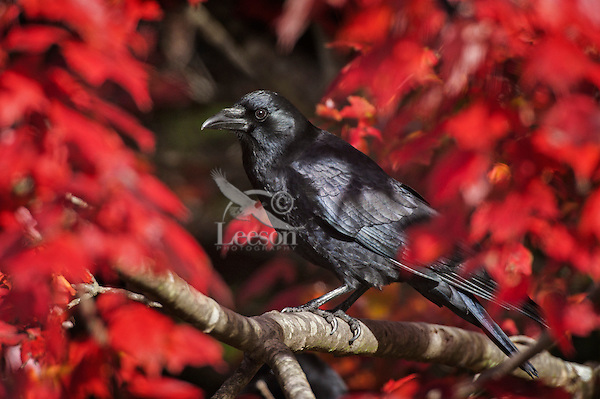 Common Crow (Corvus brachyrhynchos) in a Red Maple tree. Autumn. Nova Scotia, Canada..