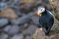 Horned puffin, Fratercula corniculata, St Paul Island, Alaska.