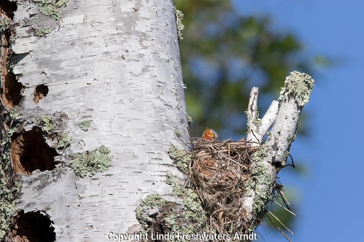 Eastern kingbird chicks in nest