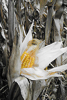 A ear of Corn is revealed while still on the stalk, Montgomery County, Indiana
