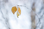 Birch tree in winter close up of Autumn leaves