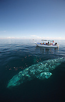 pr7018-D. Gray Whale (Eschrichtius robustus) just under surface alongside whale-watching boat with tourists. Magdalena Bay, Baja, Mexico..Photo Copyright © Brandon Cole. All rights reserved worldwide.  www.brandoncole.com..This photo is NOT free. It is NOT in the public domain. This photo is a Copyrighted Work, registered with the US Copyright Office. .Rights to reproduction of photograph granted only upon payment in full of agreed upon licensing fee. Any use of this photo prior to such payment is an infringement of copyright and punishable by fines up to  $150,000 USD...Brandon Cole.MARINE PHOTOGRAPHY.http://www.brandoncole.com.email: brandoncole@msn.com.4917 N. Boeing Rd..Spokane Valley, WA  99206  USA.tel: 509-535-3489