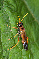 Feld-Blattwespe, Feldblattwespe, Blattwespe, Tenthredo campestris, Tenthredella campestris, Field Sawfly