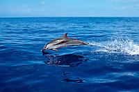 striped dolphin Stenella coeruleoalba Azores Islands, Portugal, North Atlantic Ocean