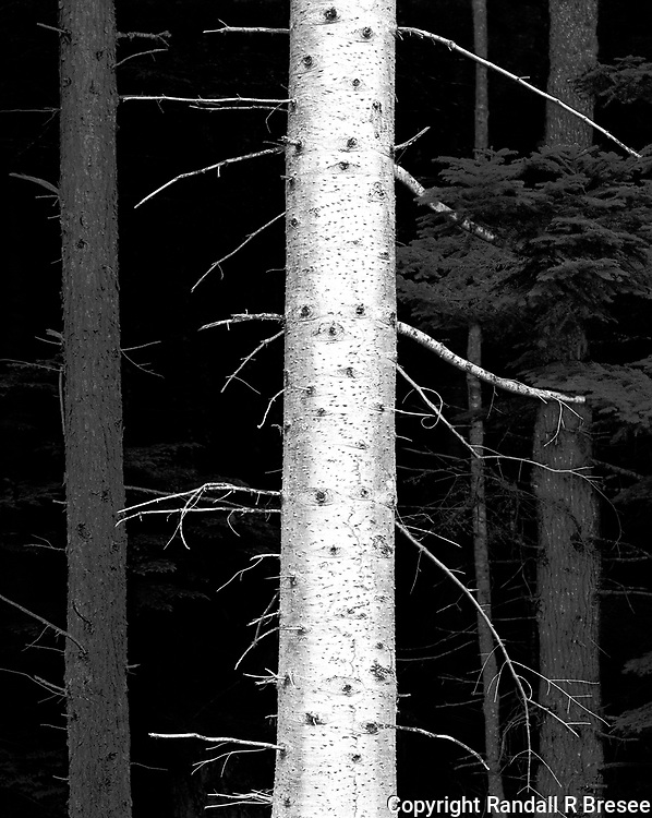 """""""Trees Near Gingolx"""" <br /> British Columbia, Canada<br /> <br /> This photograph was recorded near Gingolx in western British Columbia, Canada. I tried to contrast the white trunk of a birch tree with darker trunks of other trees."""