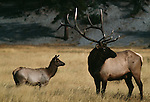 Two elk stand in a meadow in Yellowstone National Park, Wyoming.