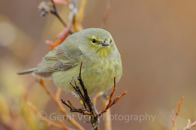 Adult Orange-crowned Warbler (Vermivora celata) of the subspecies V. c. celata. Seward Peninsula, Alaska. June.