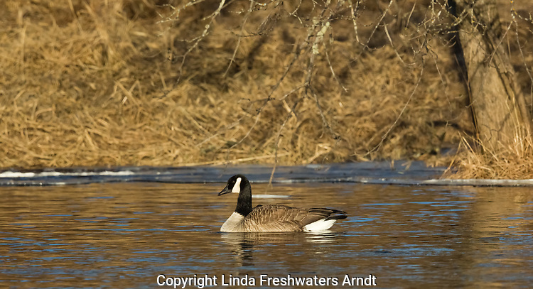 Canada goose on the Chippewa River in northern Wisconsin