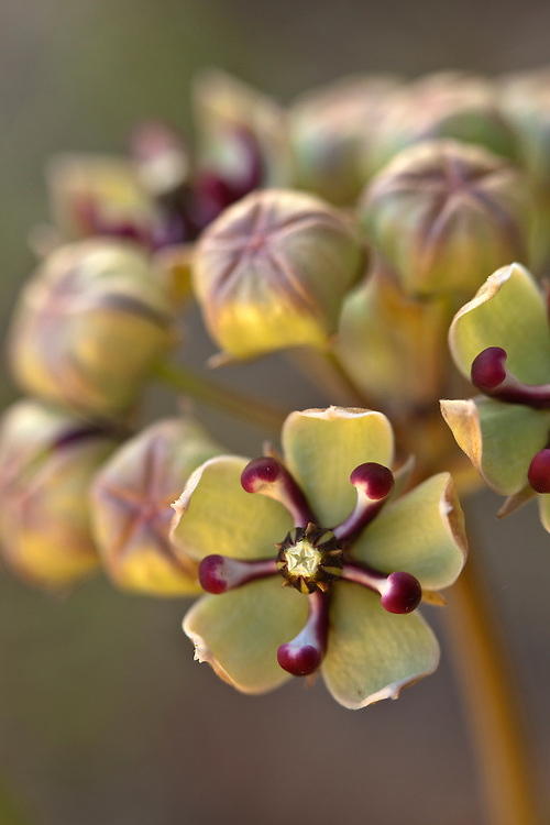 Antelope horns (Asclepias asperula) bloom near Mormon Lake