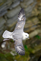 Fulmar Fulmarus glacialis W 105-110cm. Gull-like but recognised by tube nostrils and by stiffly held wings and effortless gliding flight. Swims buoyantly; gathers in groups where feeding is good. Sexes are similar. Adult typically has blue-grey upperwings and back. Head, underparts and tail are white. Has dark smudge around eye. Dark-phase (from Arctic) is blue-grey and seen occasionally. Juvenile is similar to adult. Voice Utters gurgling cackles and grunts. Status Locally common. Nests colonially on sea cliff ledges. Otherwise, seen gliding over sea.
