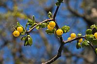 Europäische Riemenblume, Riemen-Blume, Eichenmistel, Riemenmistel, Eichen-Mistel, Loranthus europaeus, Hyphear europaeum, Loranthus dioicus, mistletoe, Summer Mistletoe