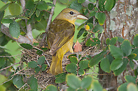 Summer Tanager, Piranga rubra, female in nest with young, Willacy County, Rio Grande Valley, Texas, USA