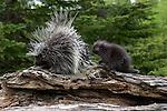 Porcupine (Erethizon dorsatum) with offspring on a log.  Spring.  Minnesota.