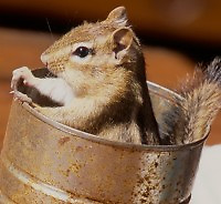 Chipmunk inside a rusty can looking out the top with its hands holding on to the edge of the can