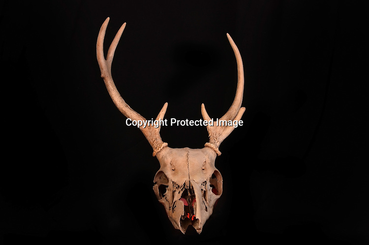 Photo of a reindeer skull