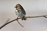 Portrait of Harris's Sparrow perched on a branch near the Platte River in Nebraska.