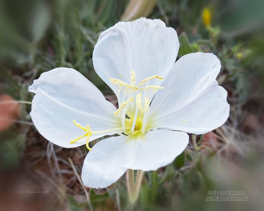 Evening Primrose near Bell Rock, Arizona